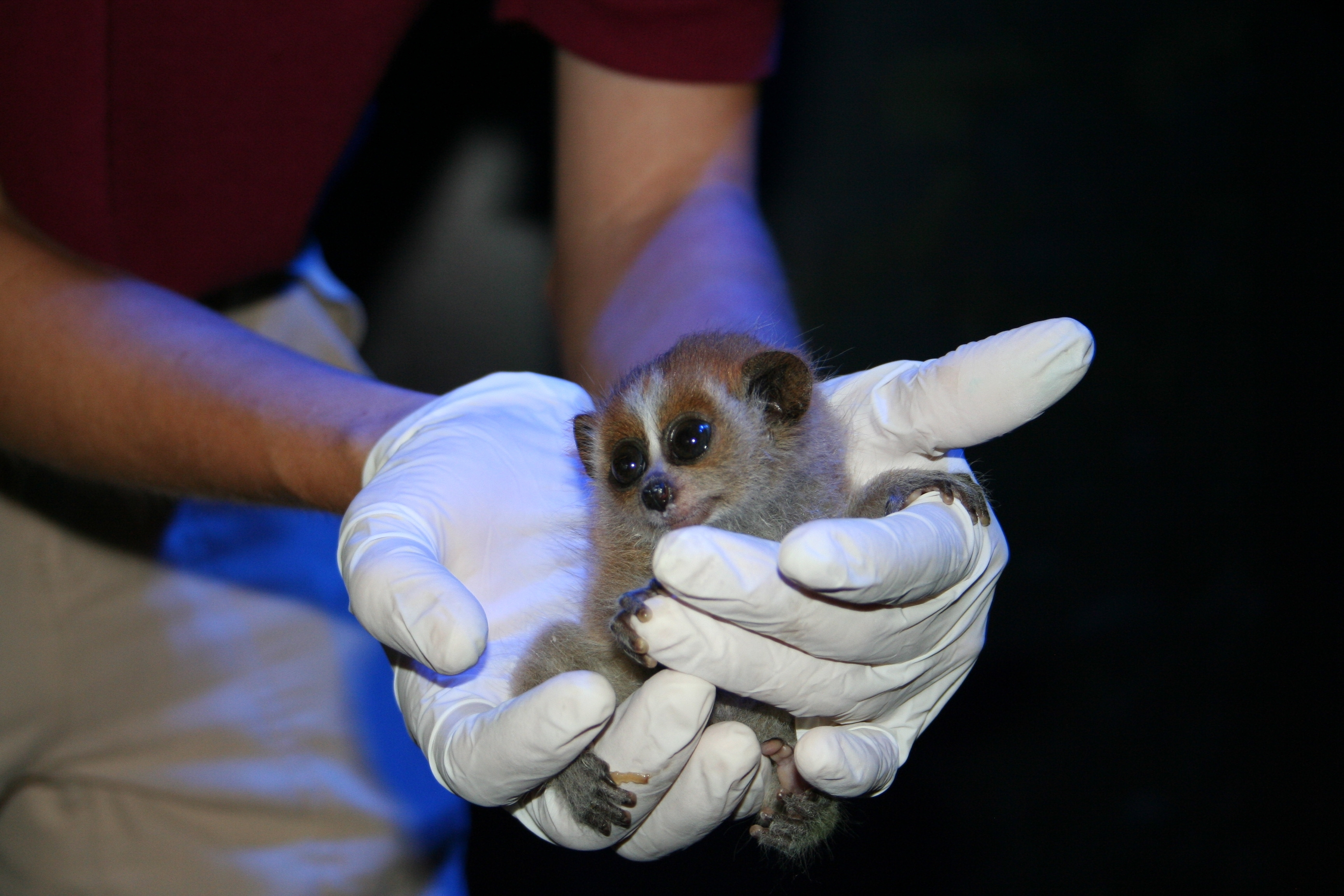 GALVESTON, Texas U2013 Moody Gardens Guests Get A Special Treat This Summer:  The Chance To See Two Rare Pygmy Slow Loris Offspring, Born June 13, On  Exhibit In ...
